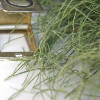 Pflanzenfarbstoff Schachtelhalm Produkt