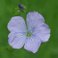 Flachs blau blühend